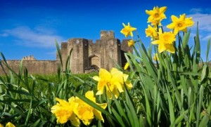Daffodils In Wales Photo